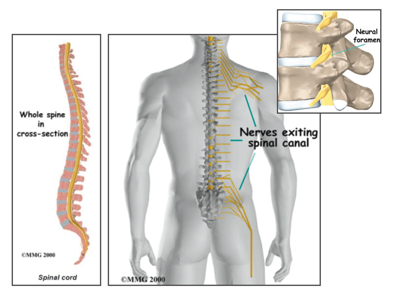 Spinal Structure Anatomy Images - human anatomy diagram organs